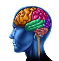 El cerebro se divide a lo largo en dos hemisferios, llamados hemisferios cerebrales cada uno de estos hemisferios se divide a su vez en cuatro partes o secciones. Estas partes o regiones son  lo que llamamos lóbulos cerebrales. Existen 3 Cisuras  (De Rolando, De Silvio y Parieto-Occipital) que separan los hemisferios cerebrales en 4 lóbulos visibles y 1 oculto