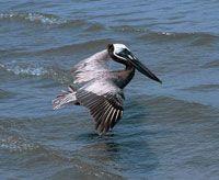 Se han registrado alrededor de 60 especies de aves en Morrosquillo; entre ellas, las que se observan con mayor frecuencia son los pelícanos y las garzas.