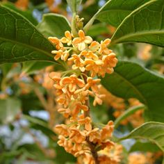 Sweet Olive (Osmanthus fragrans) with tiny white to orange flowers is a fragrant alternative to invasive honeysuckle. In warm climates, this drought tolerant evergreen blooms from fall through winter. Full sun to partial shade; average to moist, well-drained soil Zones: 8 to 11. | Photo: Josh McCullough/PhytoPhoto | thisoldhouse.com