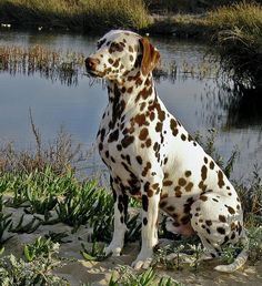 Liver Dalmatian --> I didn't know there was such a thing. He's pretty!