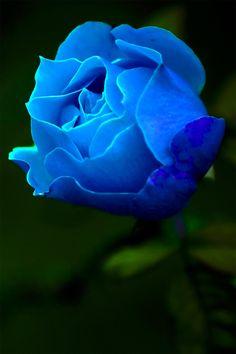 Blue Rose ...