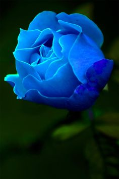 Blue Rose ...                                                                                                                                                      Más