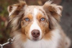 Red Merle Australian Shepherd - Best Dog EVER!