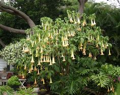 Awesome angel trumpet!!