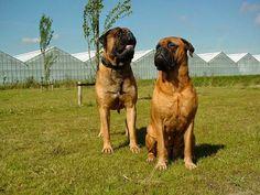 Bullmastiff Jaap en Jenna