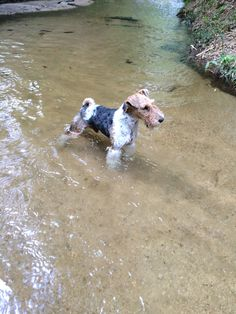 :-D Wirehair Fox Terrier looking-for-fun-in-all-the-right-places!