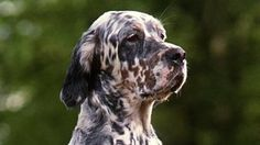 One of Britain's oldest native dog breeds, the English setter, is at risk of extinction...With 234 registrations last year, the setter joins 24 other dogs considered to be at risk of extinction on the club's list of Native Vulnerable Breeds. Breeds are added to the list when puppy registrations drop below 300 in a year. (Paul Rincon, Science editor, BBC News website. 24 January 2012)
