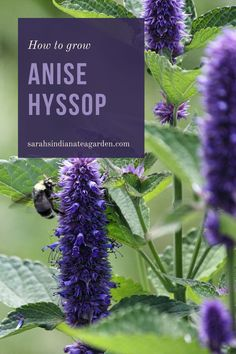 Growing anise hyssop is a great herb for any gardener to start growing. Adding this into your tea garden or medicinal garden will not only bring beautiful flowers, but also strong medicinal properties. Growing anise hyssop | Growing anise hyssop in containers | Growing anise hyssop outdoors | Growing anise hyssop outdoors | Anise hyssop | Herbal tea | Growing a tea garden | Medicinal herbs | Herb gardening for beginners Herb Gardening, Flower Gardening, Hydroponic Gardening, Edible Plants, Edible Flowers, Growing Herbs, Growing Flowers, Raised Bed, Raised Garden Beds
