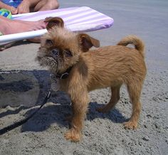 Lamonte –Brussels Griffon, cute dog on the beach