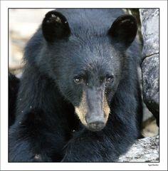 Canada. Onderweg naar Jasper ergens gestopt voor een boottochtje op een meer om beren te spotten. We hebben er 3 gezien, indrukwekkende dieren zijn het. Door communitylid Kasangua - NG ReisCommunity © Upload zelf je mooiste foto's op www.nationalgeographic.nl/reizen/fotos/toevoegen