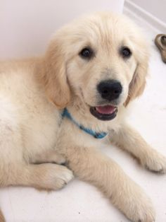 Golden retriever adoption queensland