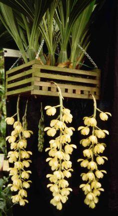 Acineta chrysantha 'Paradisia' HCC/OSCOV CC/OSCOV