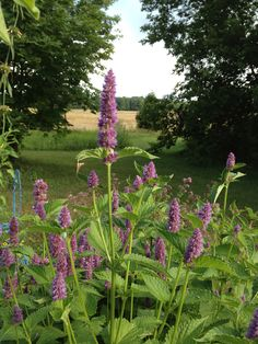 Lavender Hyssop. Makes a delish tea and what an eye-catcher!