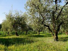 winterharte olivenb ume mediterrane pflanzen pinterest. Black Bedroom Furniture Sets. Home Design Ideas