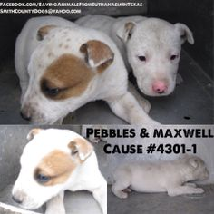 SMITH COUNTY HOLDING FACILITY TYLER,TX  Pebbles & Maxwell Cause #4301-1 Lab Mix Puppies - White (Female) Brown/White (Male) - 6 Weeks - 10-12 lbs