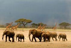 Great Migration - Kenya