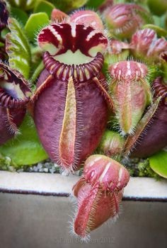 Cephalotus is a genus which contains one species, Cephalotus follicularis, a small carnivorous pitcher plant. The pit-fall traps of the modified leaves have inspired the common names for this plant, which include Albany pitcher plant, Western Australian pitcher plant, fly-catcher plant or mocassin plant