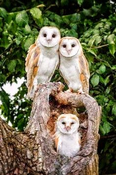 Barn Owls, mom, dad, and fledgling - gorgeous family!