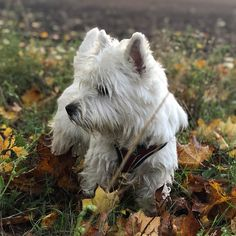Autumn Animals, West Highland White, Isn, White Terrier, Westies, Terriers, Profile, Dogs, Instagram