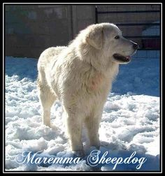 maremma sheepdog; Italian cousin to the Kuvasz
