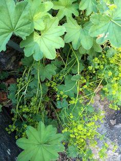 Beitemarikåpe - Alchemilla monticola - Rosefamilien.
