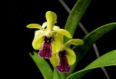 Perreiraara Motes Leprecha 'Haiku Mint' orchid