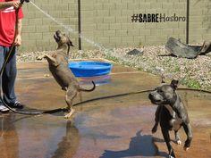 Standing up for the hose - Hasbro #sabrehasbro #pitbull