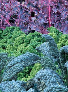 Grow Kale: Plant Delicious Winter Nutrition #ediblegarden #growfood