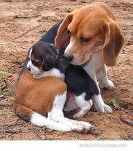 """bebê e mamãe """"beagle"""""""