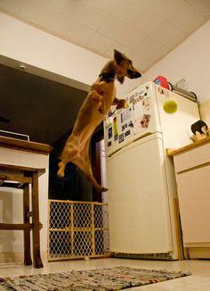 My dachshund Ava in flight.