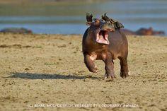 笑うアザラシやビックリ顔のフクロウなど、野生動物のユニークな姿を収めた写真コンテスト「Comedy Wildlife Photography Awards」受賞作発表 - GIGAZINE
