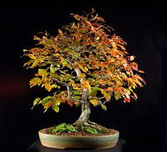 American Hornbeam (Carpinus caroliniana)   Height: 18 inches