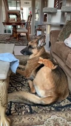 Pixie b Brutus irl - Gatos Graciosos Cute Funny Animals, Cute Baby Animals, Funny Dogs, Animals And Pets, Cute Cats, Adorable Kittens, Wild Animals, Cute Animal Videos, Funny Animal Pictures