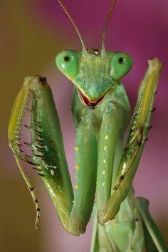 Praying Mantis he's cute =)
