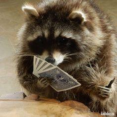 Funny Pets And Animals Friends Ideas Cute Funny Animals, Cute Baby Animals, Animals And Pets, Baby Raccoon, Racoon, Unusual Animals, Animals Beautiful, Unusual Pets, Strange Animals
