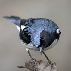 Black Throated Blue Warbler | World of Animal