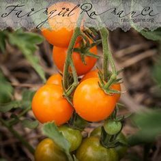 2014 has been a great year for Tomatoes! (1) From: Raising Jane, please visit