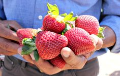 S strawberries are grown right here in California? These delicious red beauties couldn't be any more fresh. What a treat! California Coast, Golden State, Strawberries, Treats, Fresh, Sweet, Food, Sweet Like Candy, Strawberry Fruit