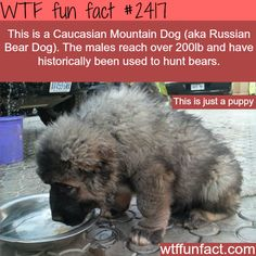 The Caucasian Mountain Dog puppy - WTF fun facts