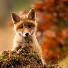 Forest Hill foxen.