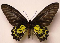 TROIDES AEACUS INSULARIS - female  (loc.: North Sumatra) (coll and photo: © Mike J. Howlett, UK)