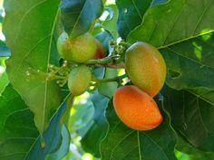 De roodoranje vruchten van de pindakaasboom smaken naar pindakaas en kunnen vers worden gegeten of verwerkt worden tot jam of milkshakes. Zeldzame zaden.
