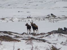 Moose on The Hills in Port-aux-Basques, Newfoundland