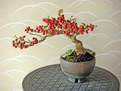 Bonsai Fruit Tree, Bonsai Art, Bonsai Garden, Fruit Trees, Trees To Plant, Cotoneaster Bonsai, Mame Bonsai, Plant Fungus, Miniature Trees