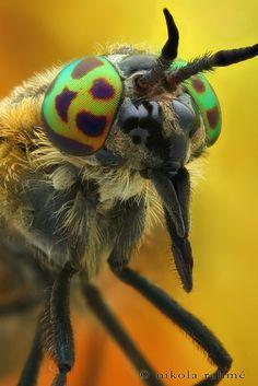 ˚Chrysops relictus (Diptera, Tabanidae) Tabanid Fly