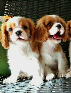 Some very happy Cavalier King Charles Spaniel puppies.