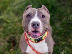 American Pit Bull Terrier dog for Adoption in Martinez, CA. ADN-718334 on PuppyFinder.com Gender: Female. Age: Adult