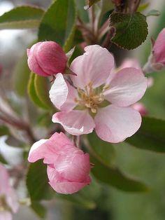 Flower Branch, Blossom Flower, Peach Blossoms, Apple Blossoms, Life Is Beautiful, Beautiful Flowers, Botanical Illustration, Bloom, Flower Paintings