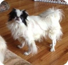 Hero's Story...  Hero is the perfect lapdog. He's a Japanese Chin about 5 years old. We recently picked him up at a local animal control where he ended up after being picked up running loose. The person we'd adopted him to four years ago was no longer at the same address or phone numbers, so we couldn't reunite him. No one came looking for poor little Hero either.   He is at the St. Louis Senior Dog Project in House Springs, MO.