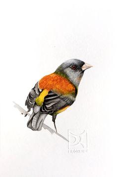 COMETOCINO Chilean bird in watercolor